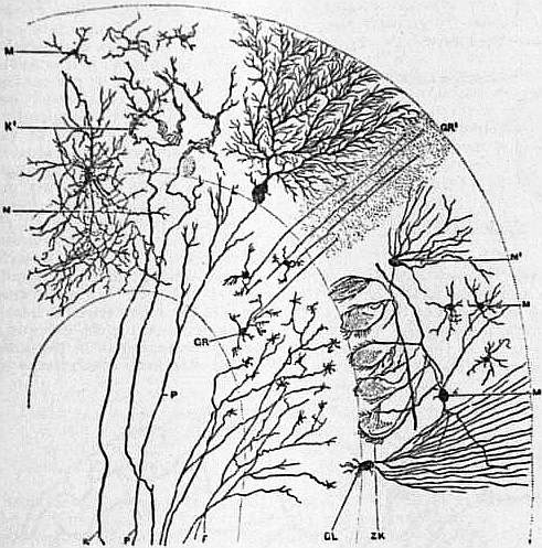 EB1911 Brain Fig. 7-Transverse Section of Cerebellar Folium.jpg