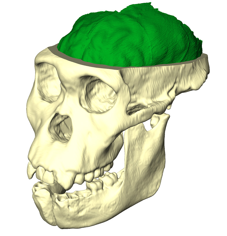 maturation of australopithecus The number of vertebrae in early hominins: insights from australopithecus  hominins: insights from australopithecus  postnatal maturation of.