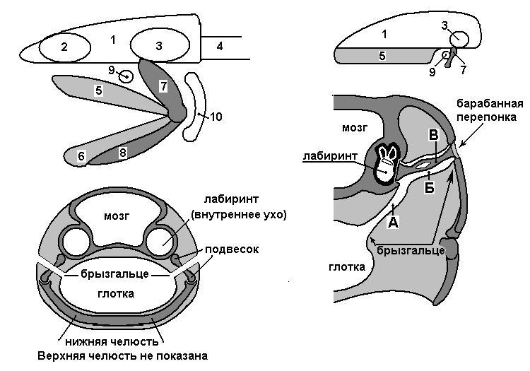 Физиология органов