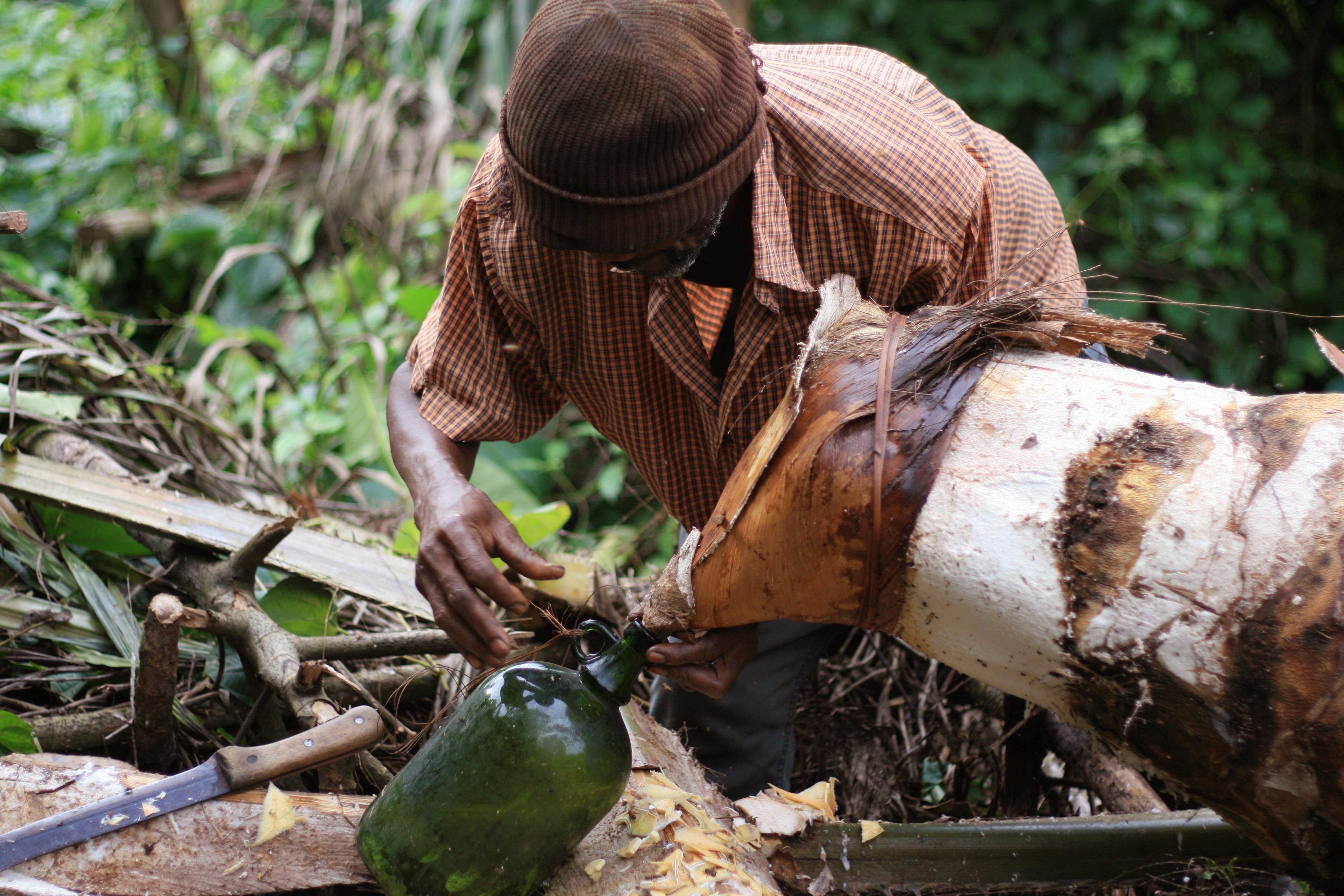 Fichier:Extraction du vin de palme dans le village de Tayap.jpg — Wikipédia