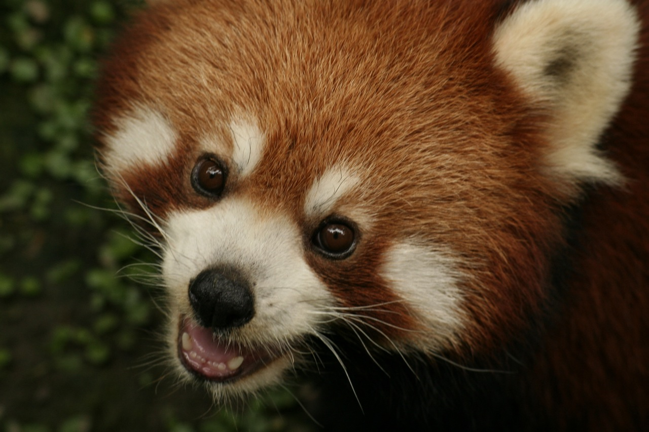 Red panda essay