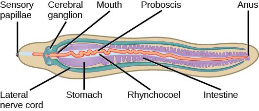 annelida lab \u2013 alana olendorf e portimage result for leeches anatomy \u201c