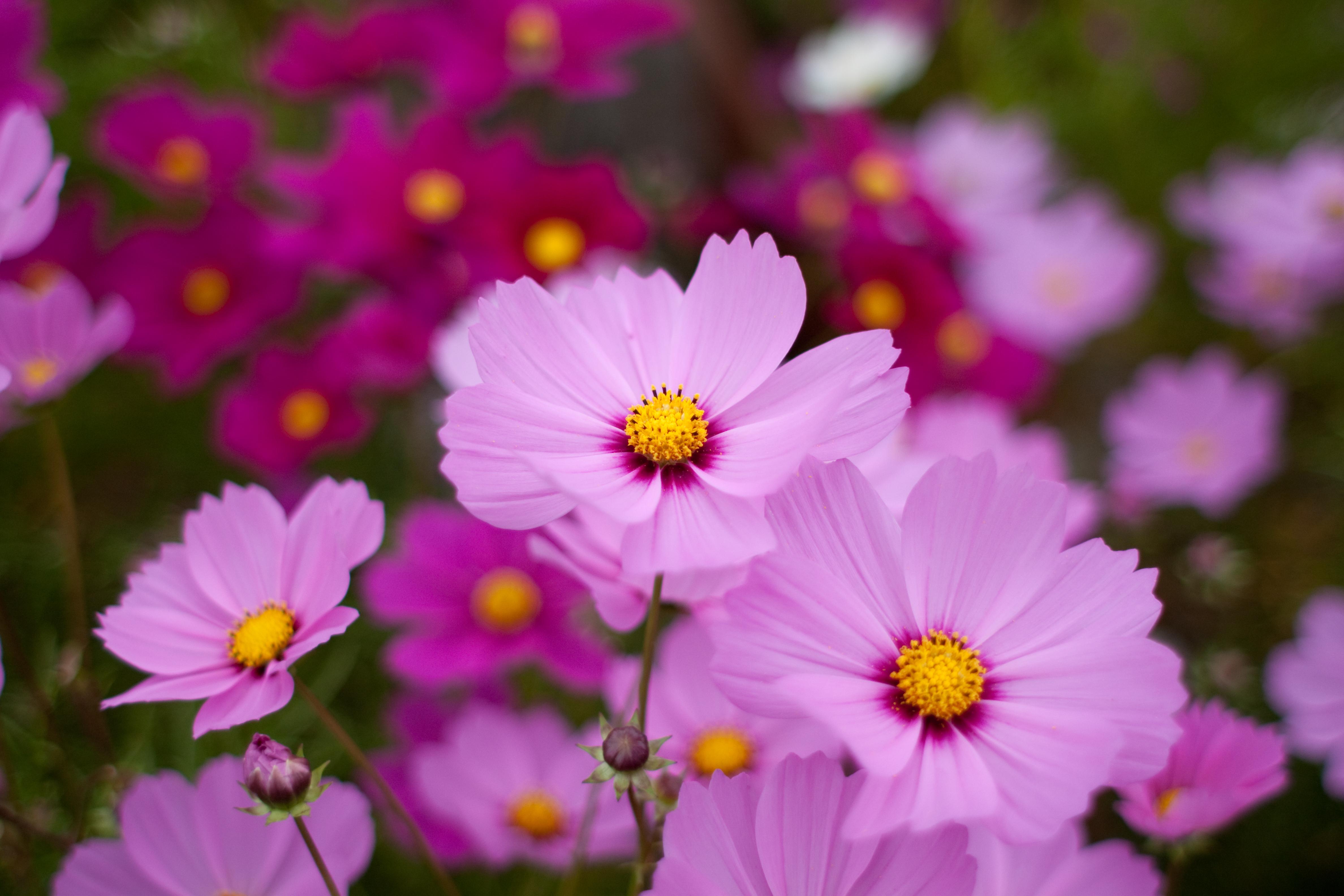 "File Flower Cosmos ""Sensation"" Flickr nekonomania Wikime"
