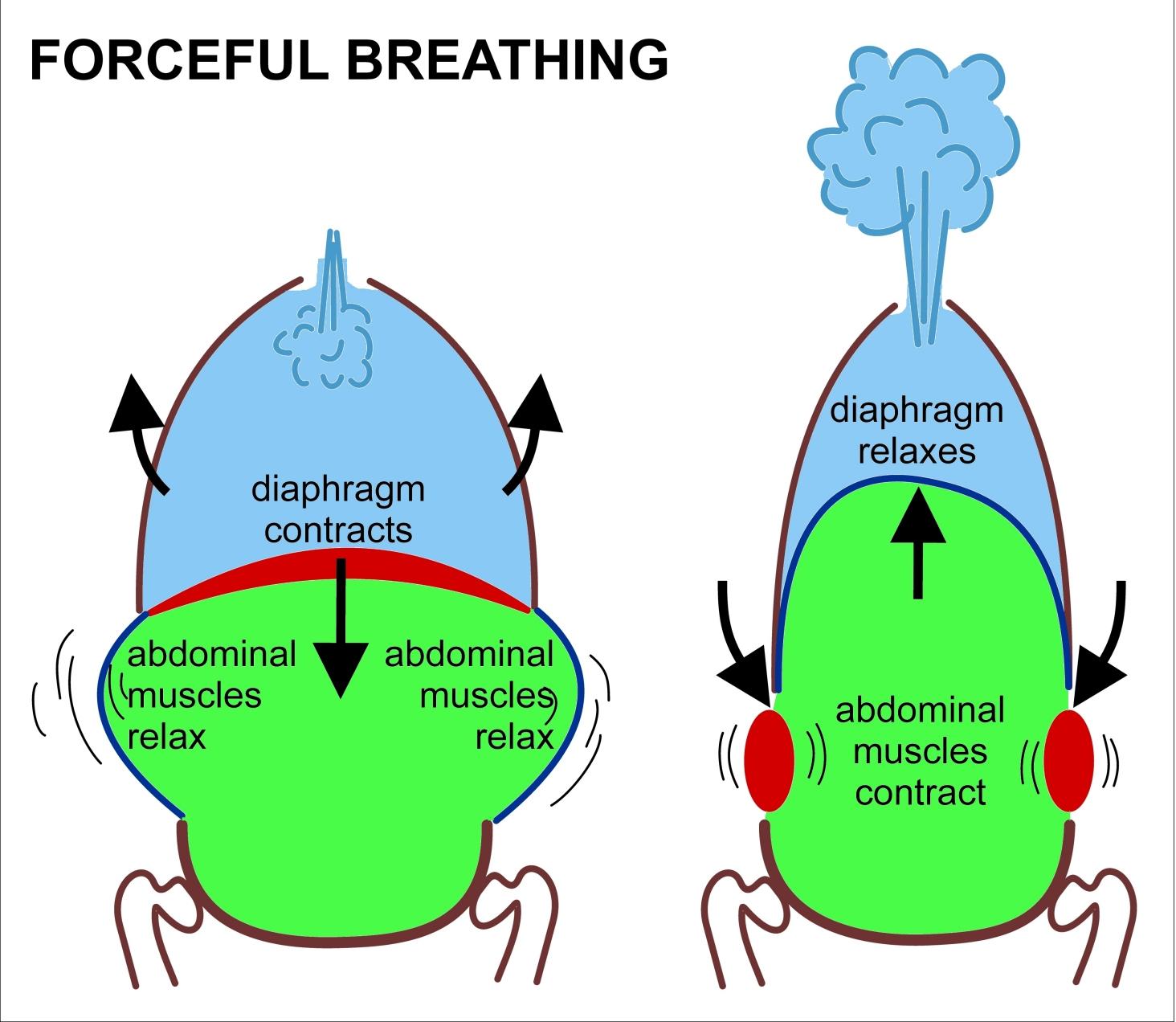 Forceful breathing diagram
