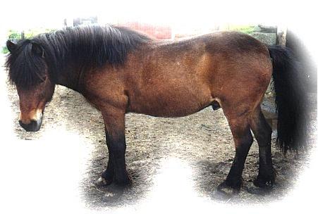 Faroe Pony - Horse Scanner