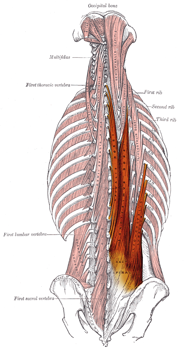 Erector Spinae Muscles Wikipedia