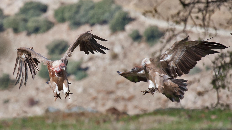 griffon vulture size