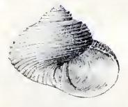 Haplochochlias turbinus 001.jpg