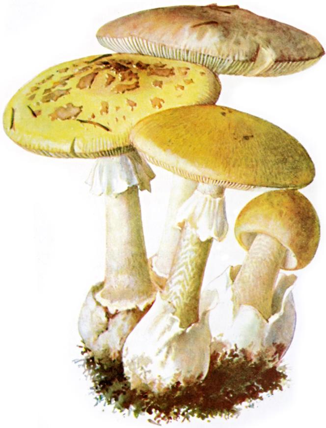 Amanita - Wikipedia, la enciclopedia libre