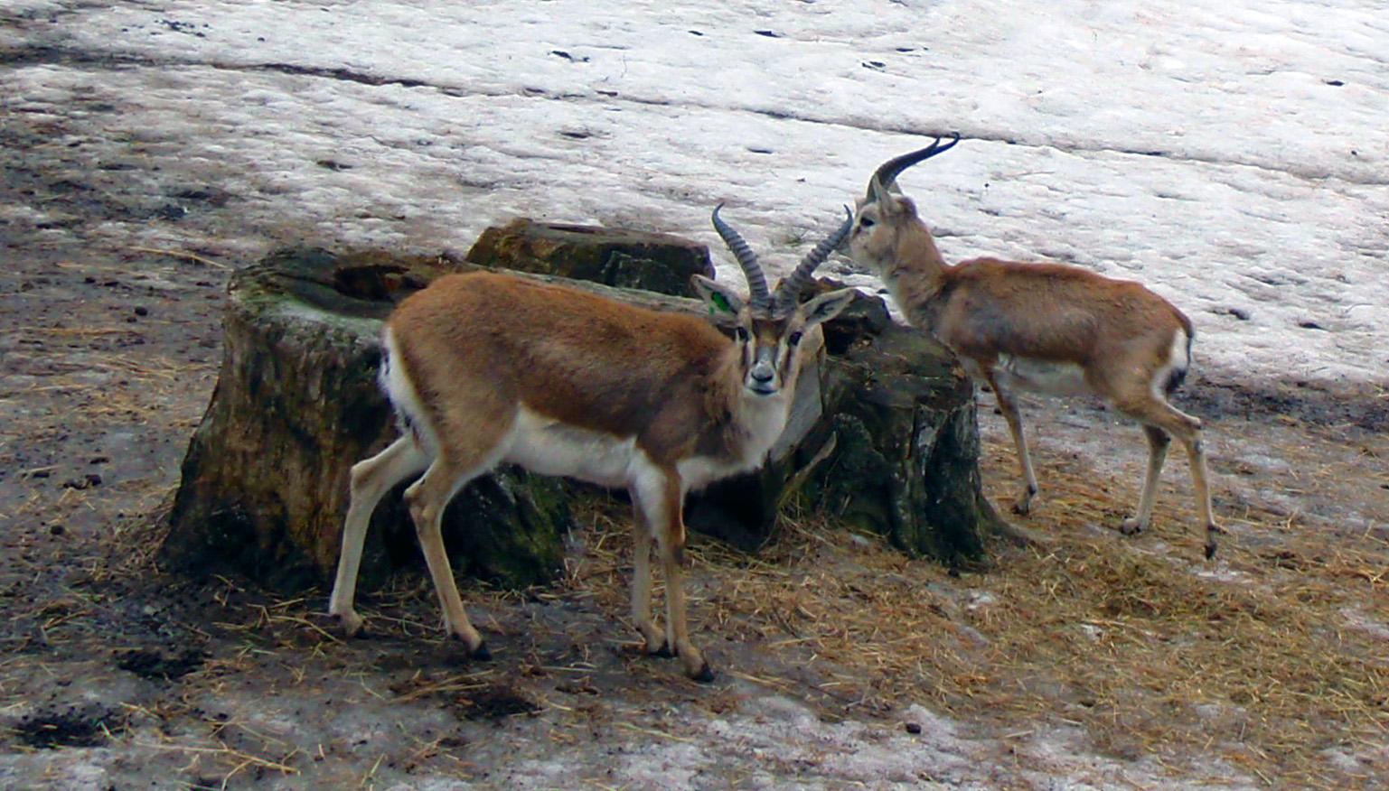 Asian gazelle species