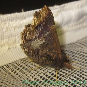 <i>Lacera alope</i> Species of moth