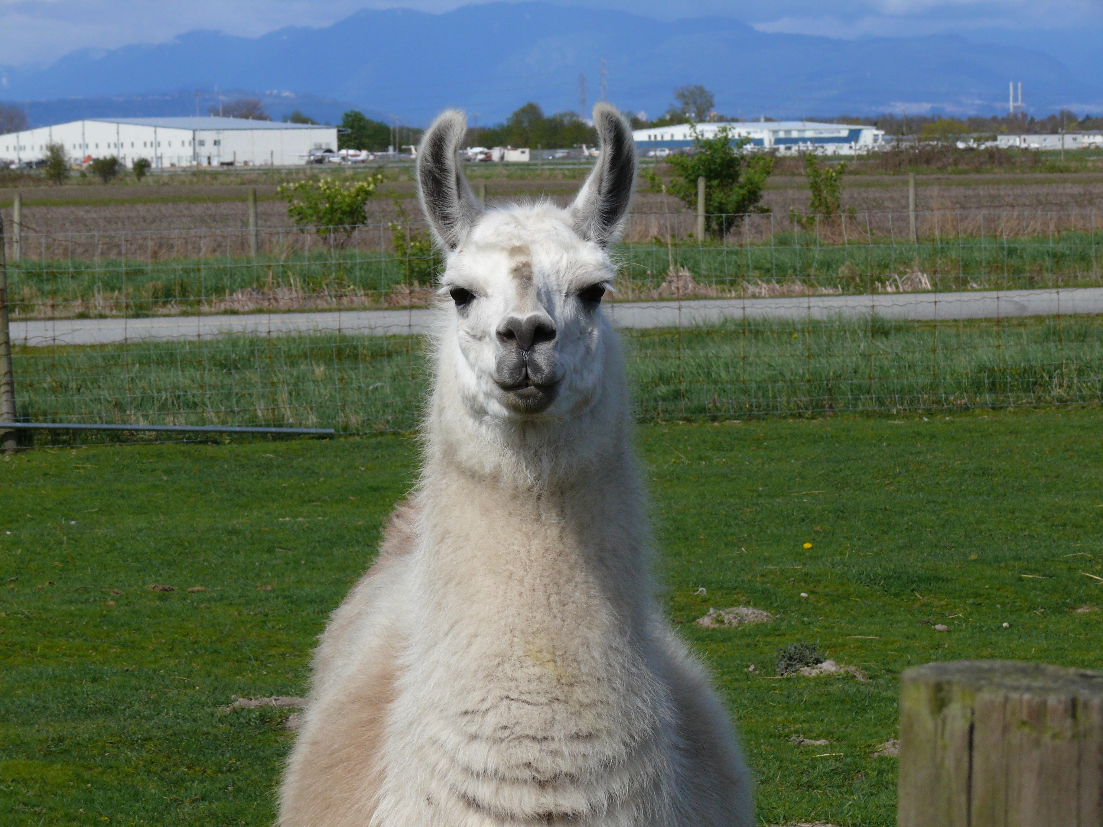 Description Llama front.jpg