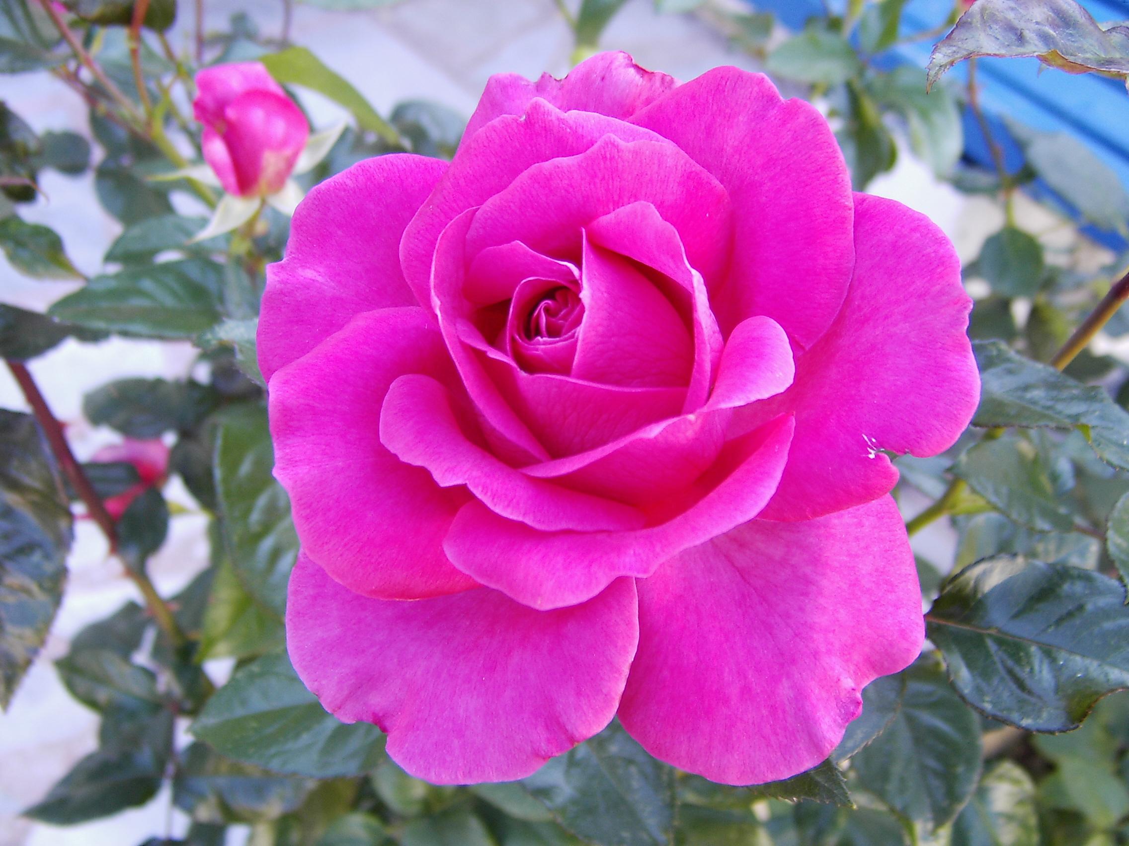magenta roses wallpaper - photo #21