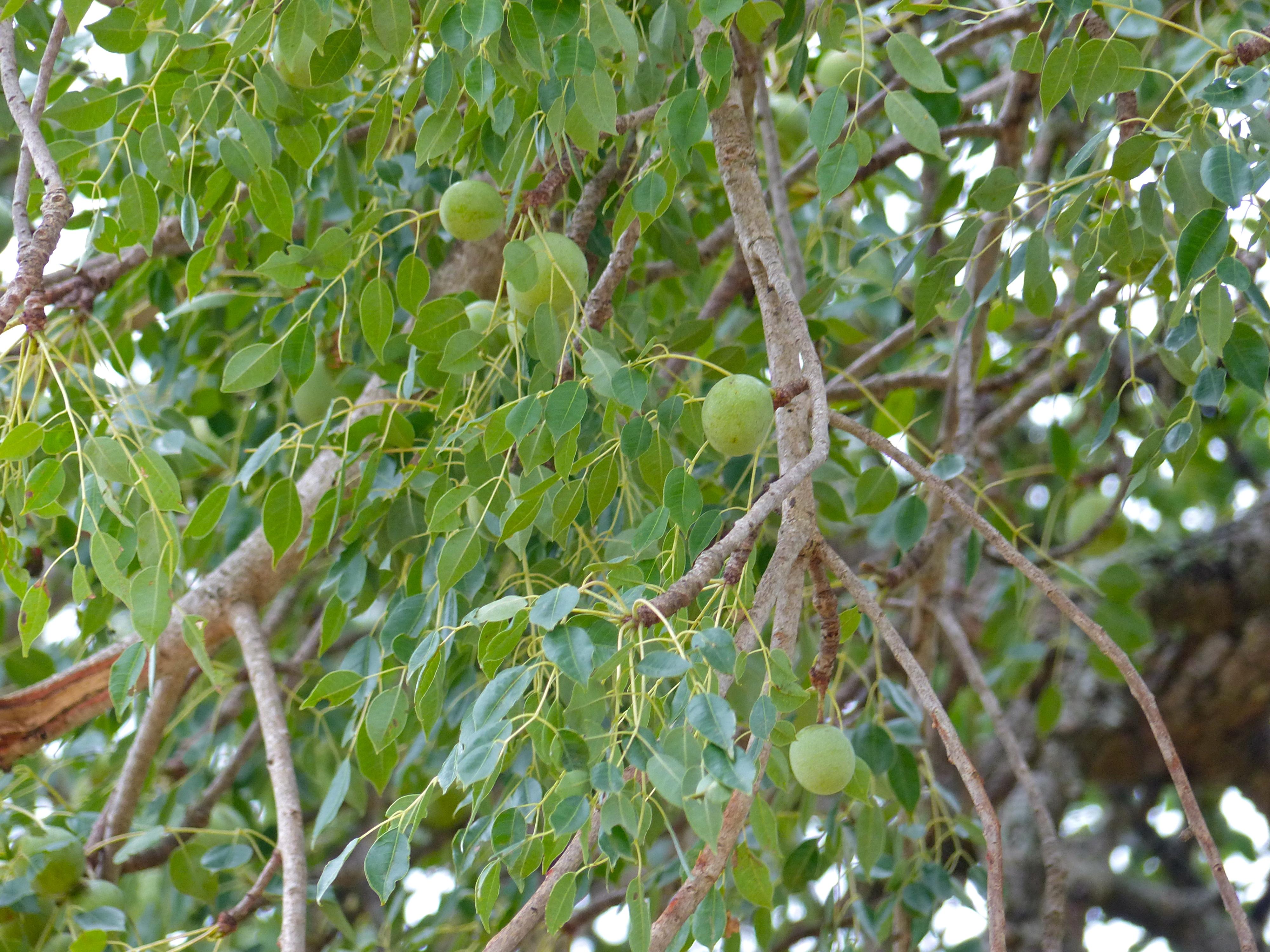 Marula / Maroela Tree - Sclerocarya Birrea ssp Caffra - Seeds ...