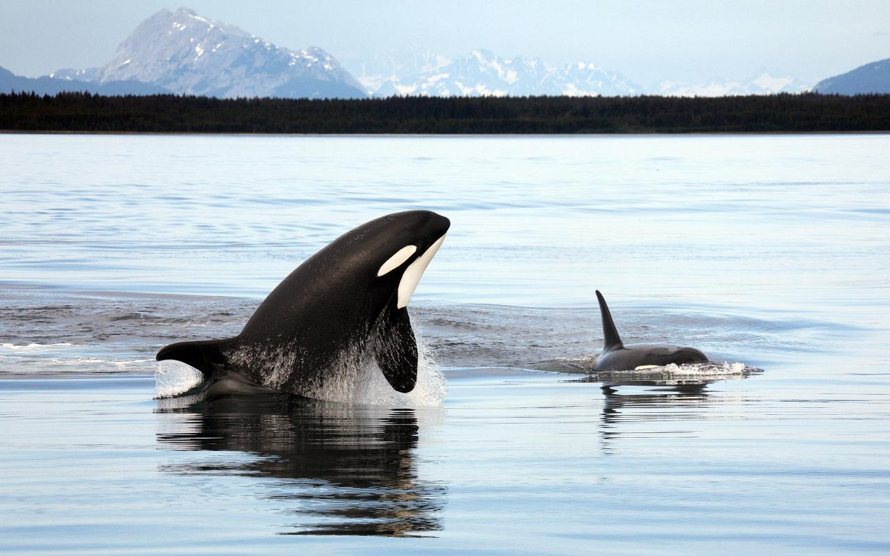 Orca Whale vs Great White Shark