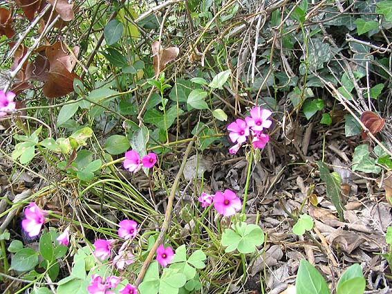 oxalis rose