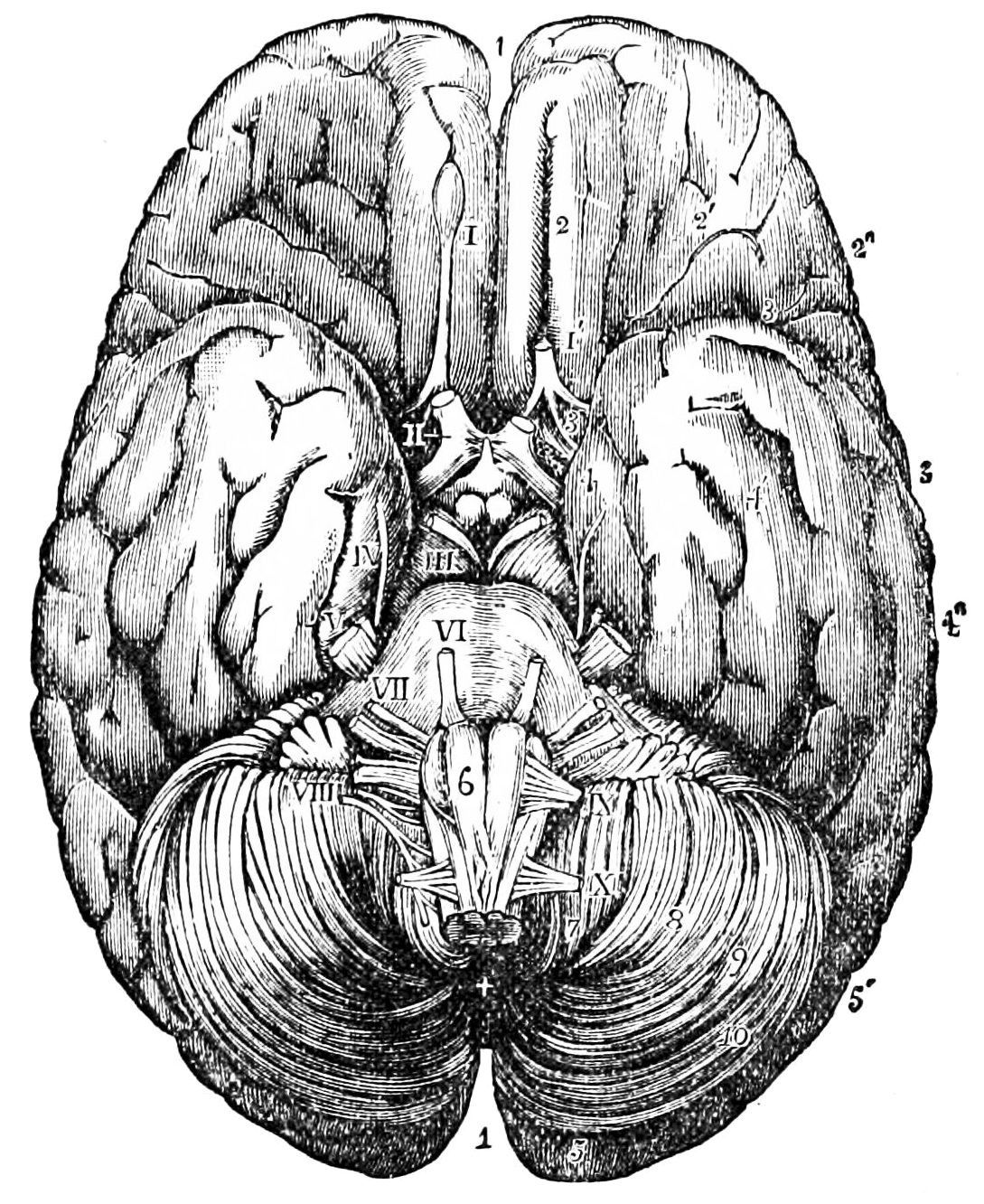PSM V26 D758 Under surface of the human brain.jpg