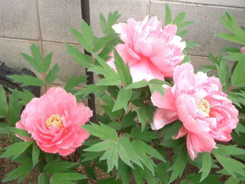 File:Paeonia suffruticosa Botan pink001.jpg