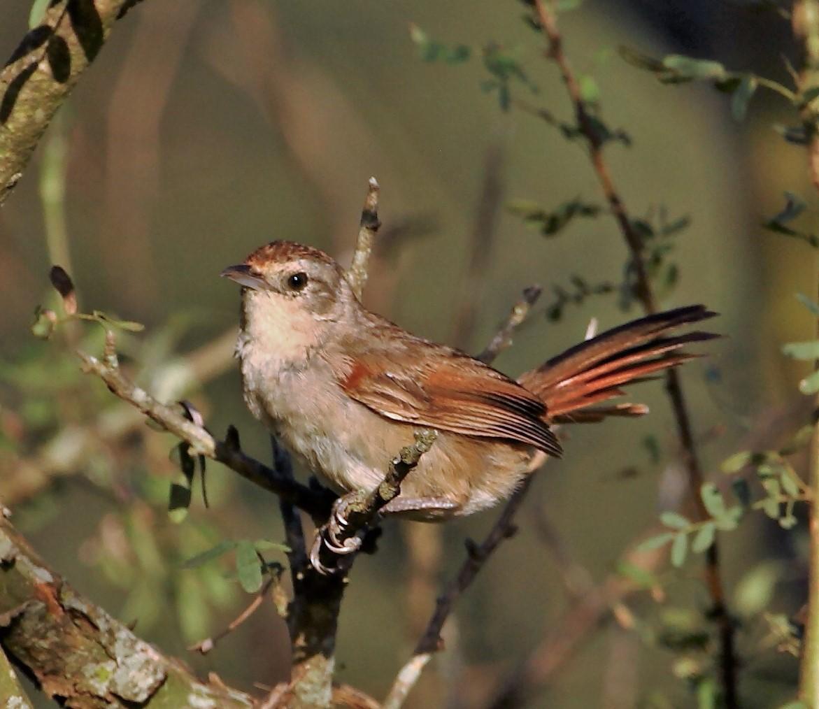 Little Thornbird Wikipedia