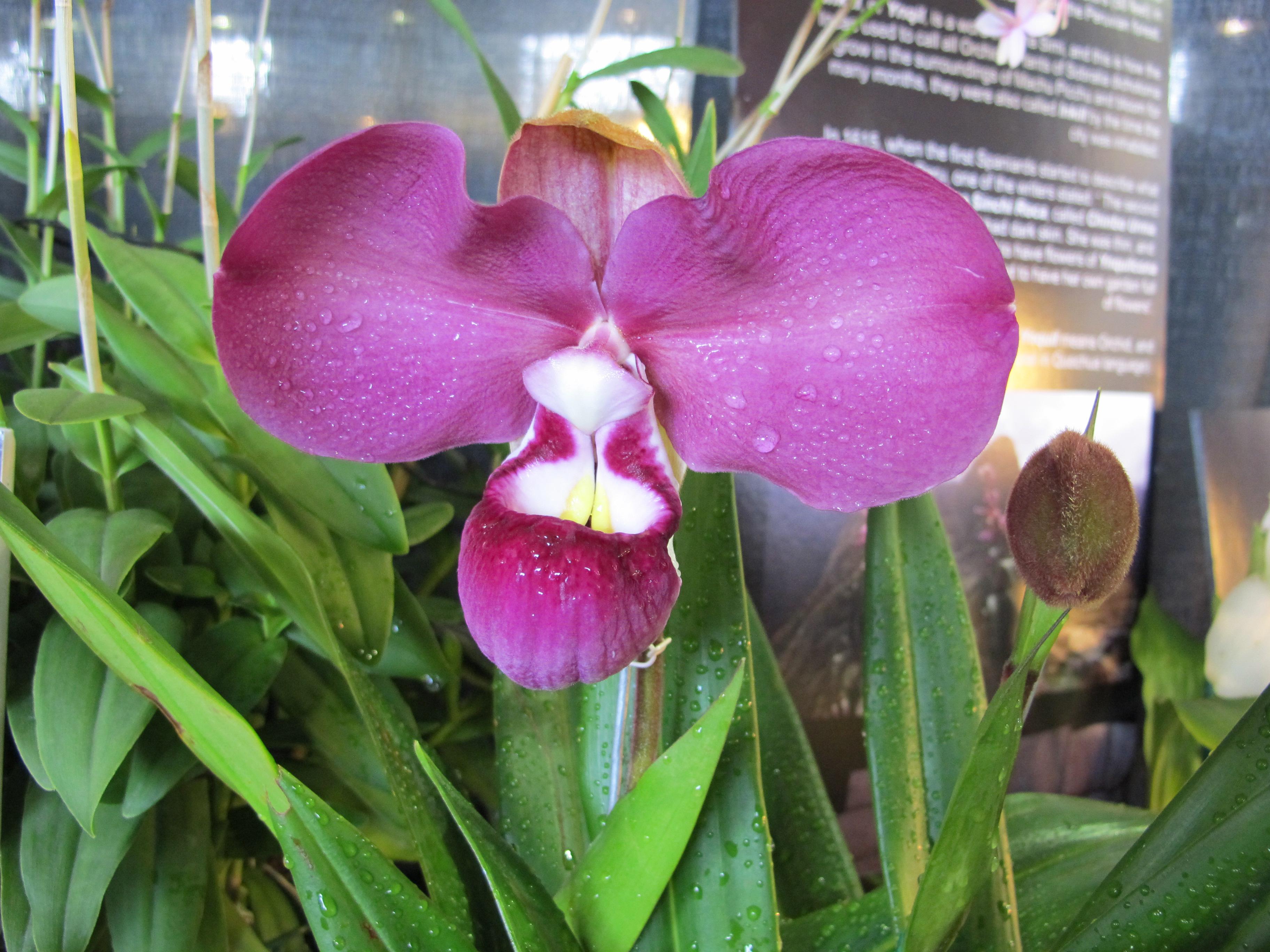 File:Phragmipedium kovachii - Flickr 003.jpg - Wikimedia Commons