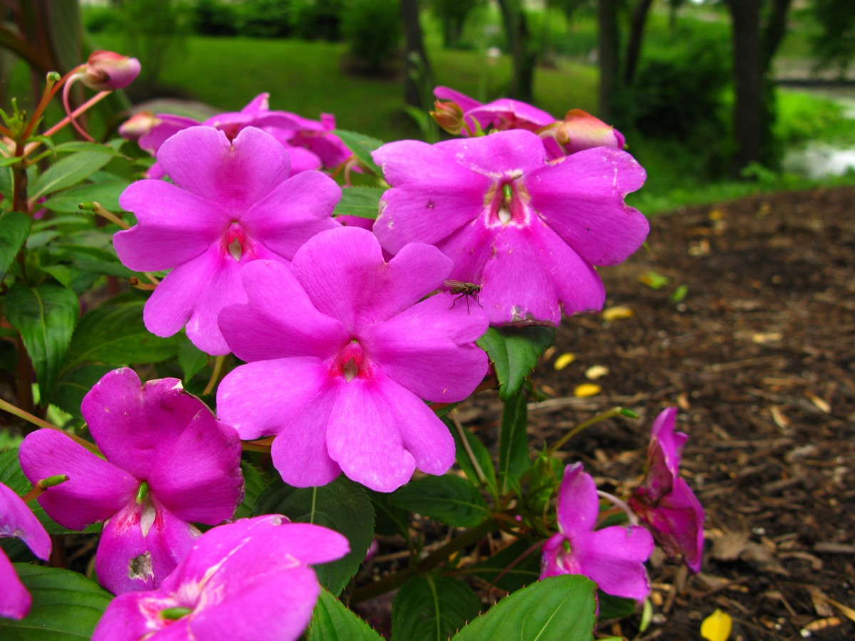 Filepink Flowers Garden Forestwanderg Wikimedia Commons