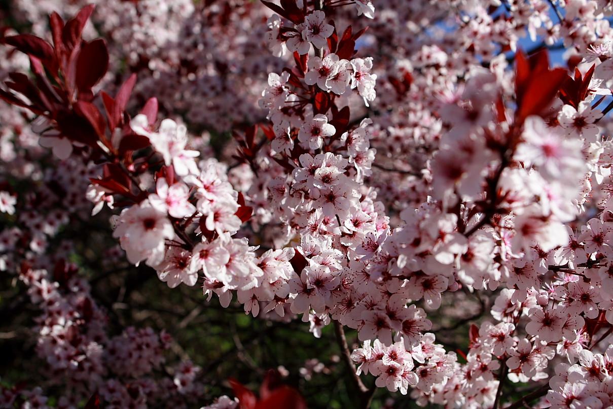 File Plum tree flowers blooms West Virginia ForestWander Wikimedia