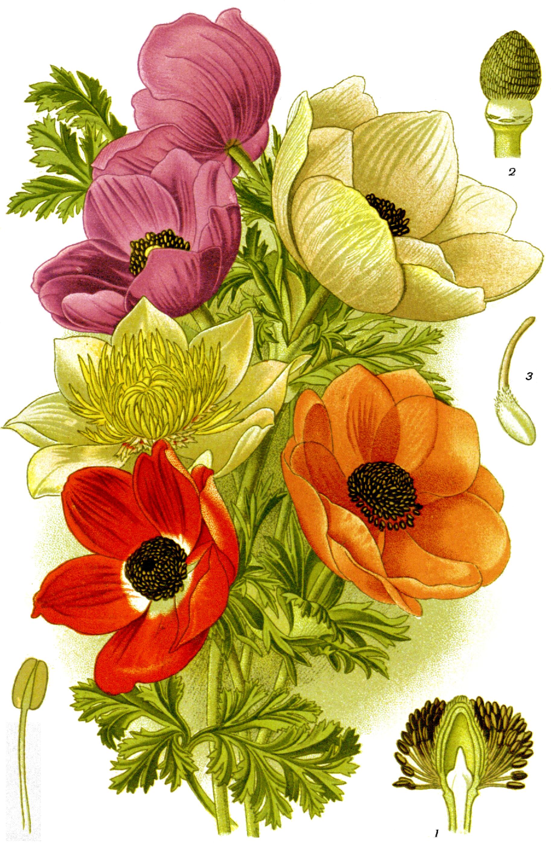 Poppy Anemone Favourite Flowers Garden Greenhouse 1 0021 3g