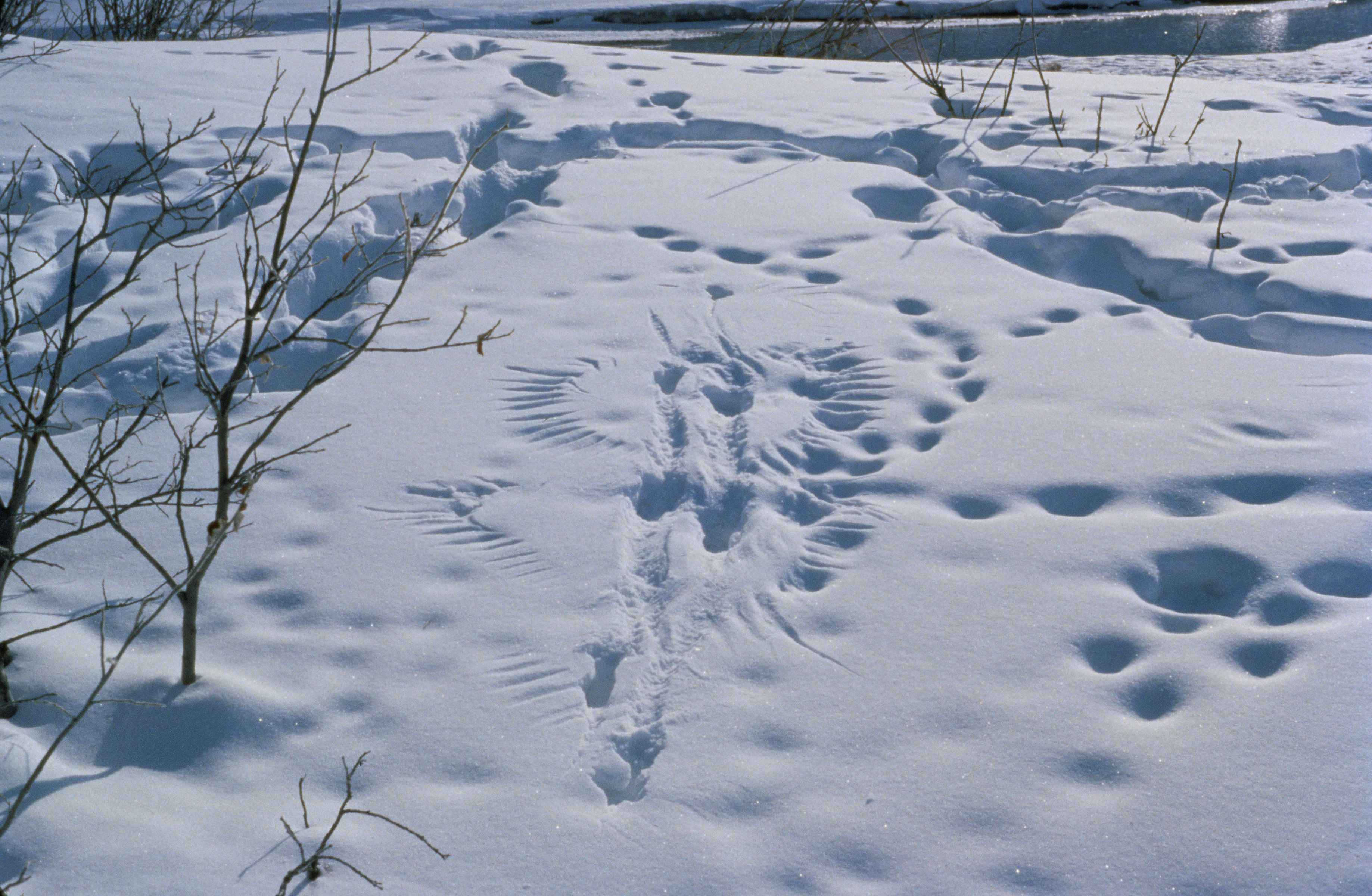 Quiz: Can You Guess the Animals That Made These Snow Tracks?