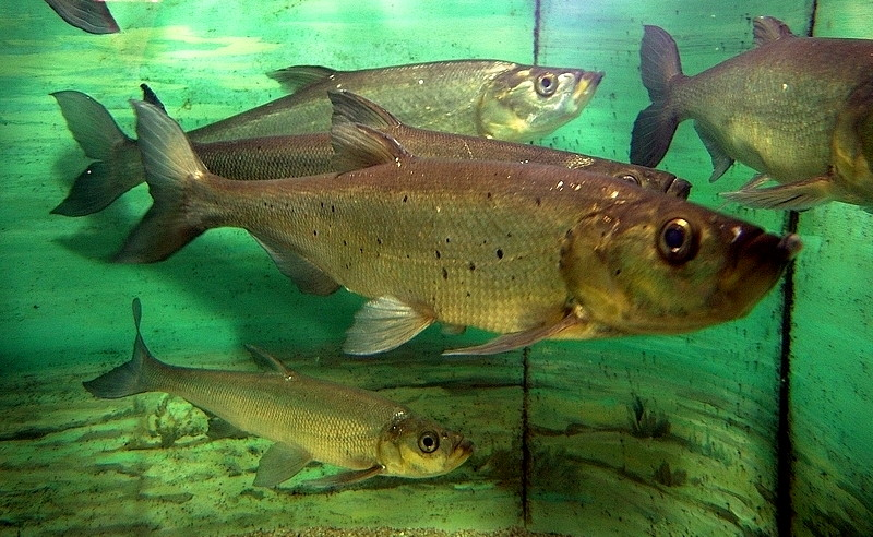 Asian carp scientific name