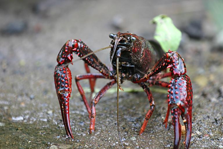 http://upload.wikimedia.org/wikipedia/commons/1/1a/Procambarus_clarkii.jpg