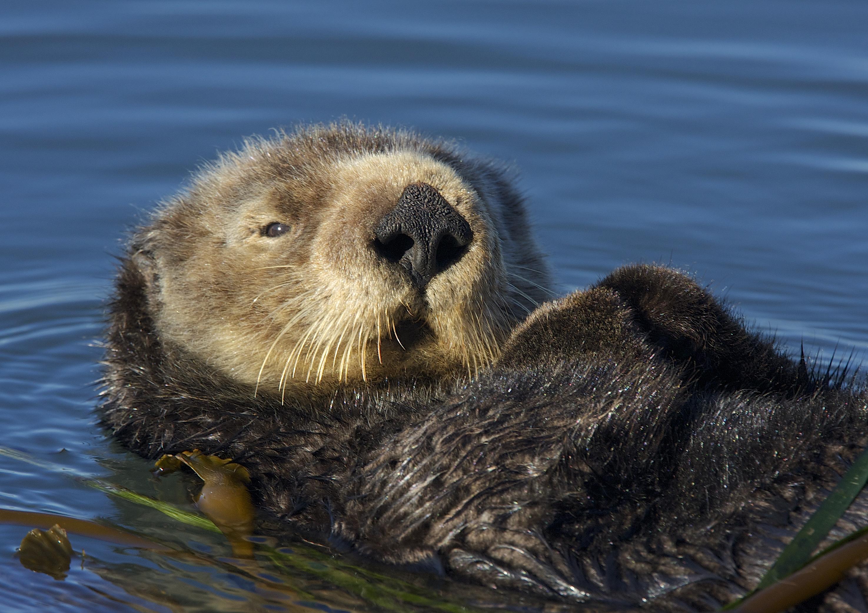 File:S  Sea Otter (Enhydra lutris) (15800171602) jpg