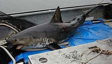 Salmon shark nmfs.jpg
