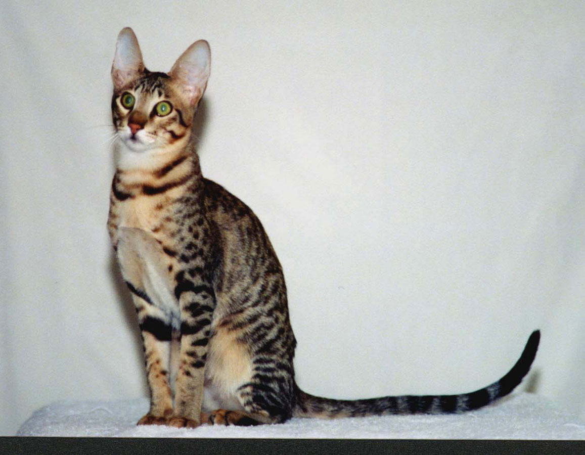 Can You Identify Cat Breeds From These
