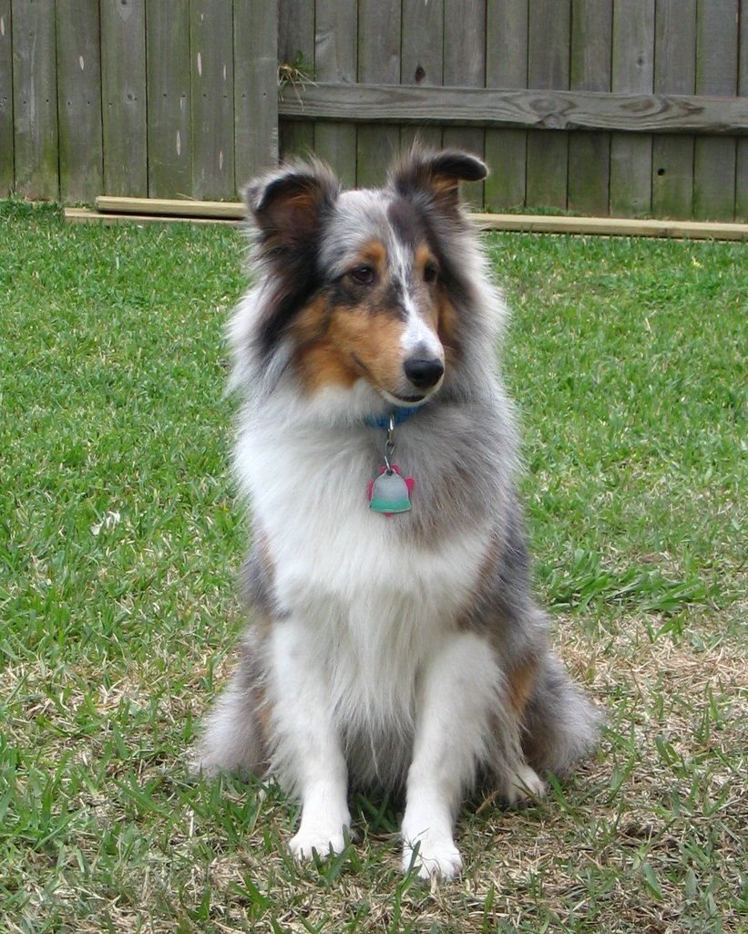 Miniature Collie Dog For Sale
