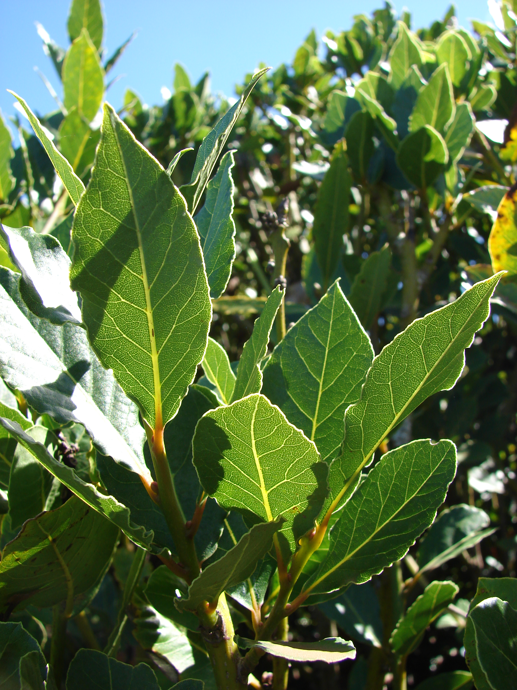 laurel herb