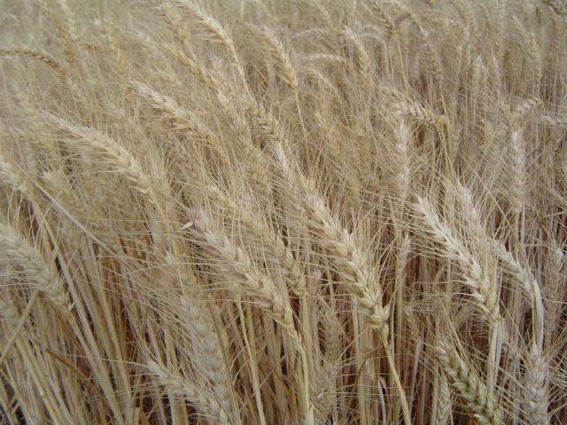 Пшеница твёрдая — Википедия Домен Это