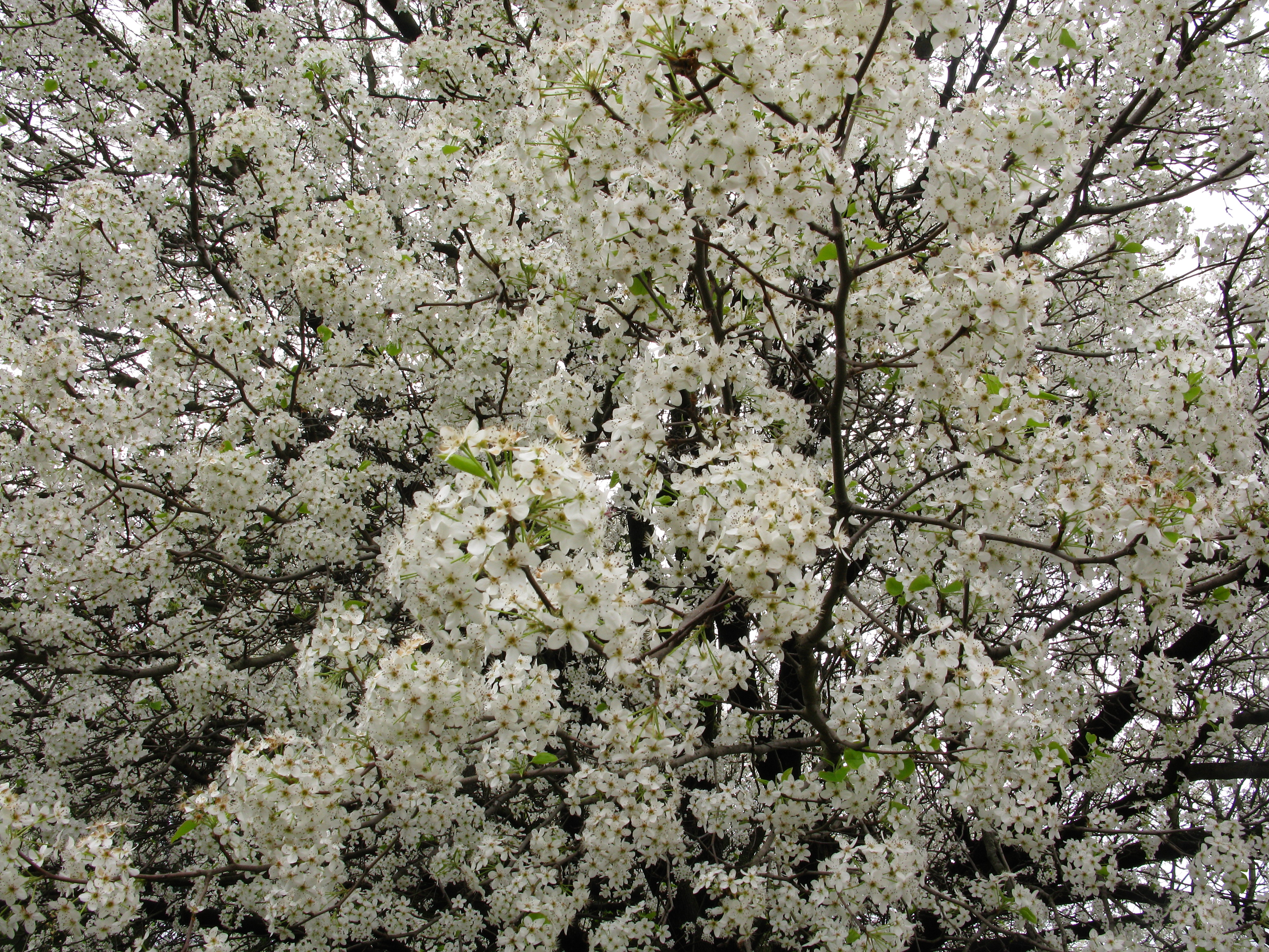 Filewhite flowering pear west virginia forestwanderg filewhite flowering pear west virginia forestwanderg mightylinksfo