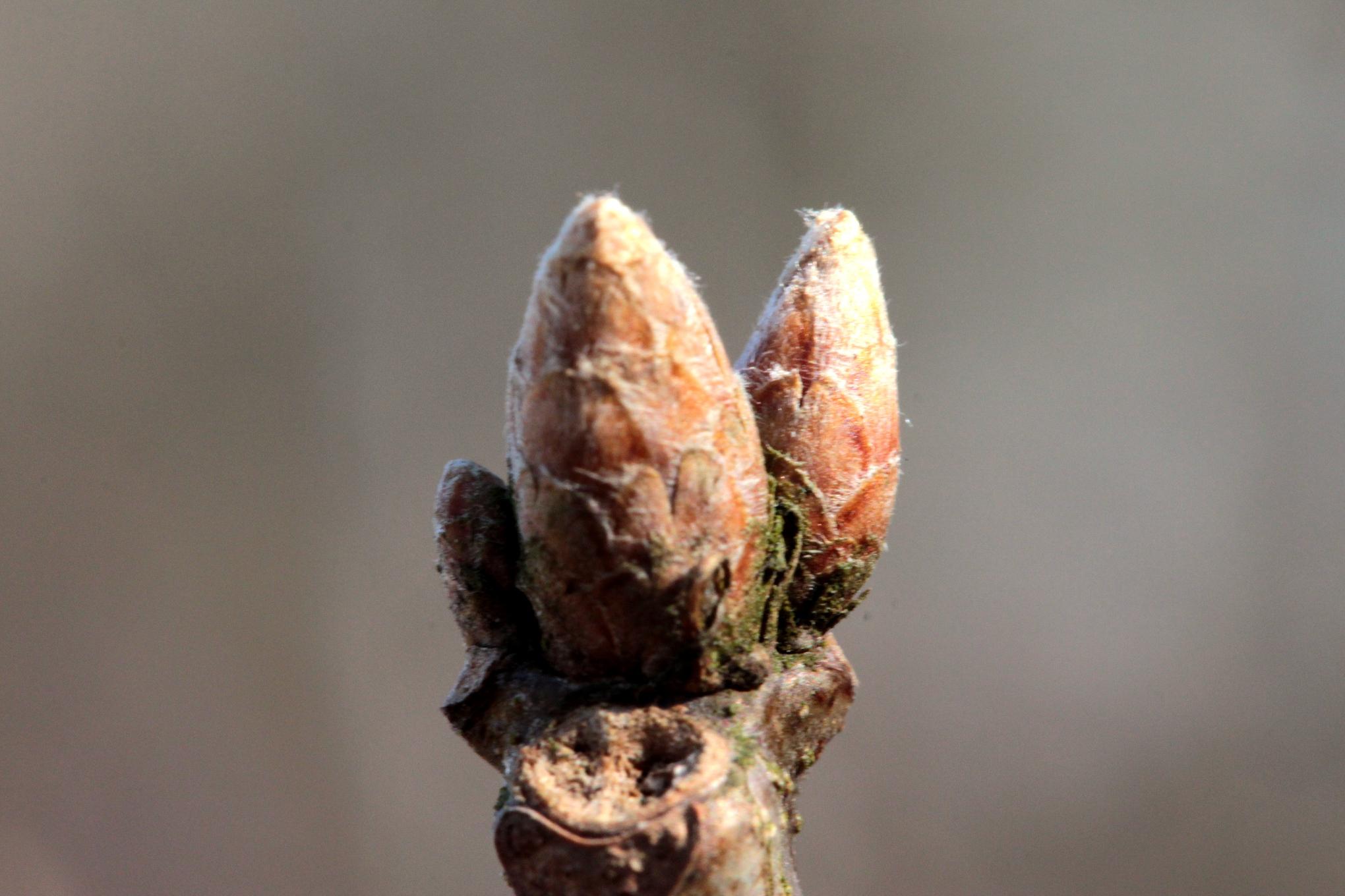 Quercus Velutina Buds File:2013-04-02 1 Quer...