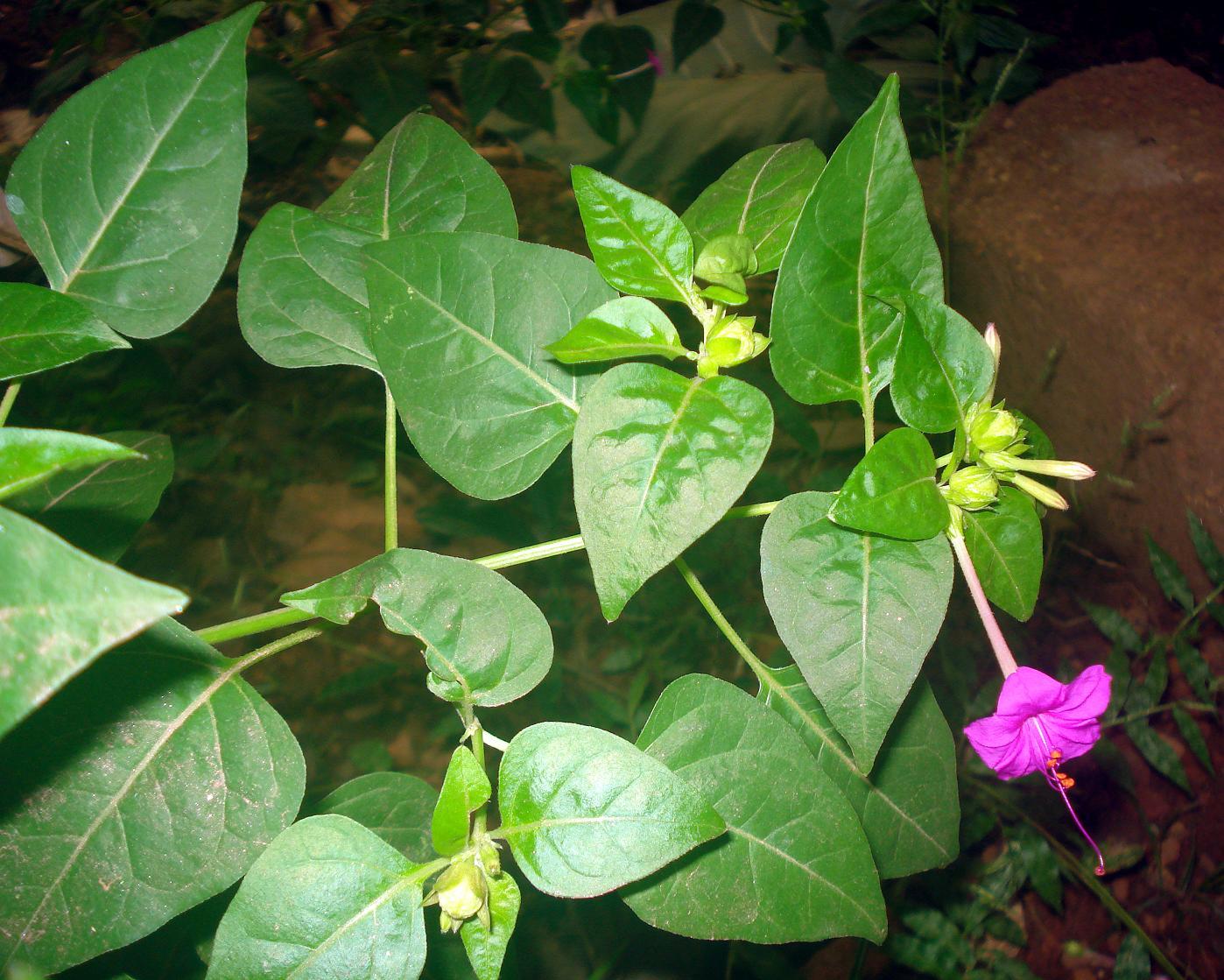 Belle de nuit d finition c 39 est quoi - Belle de nuit plante ...