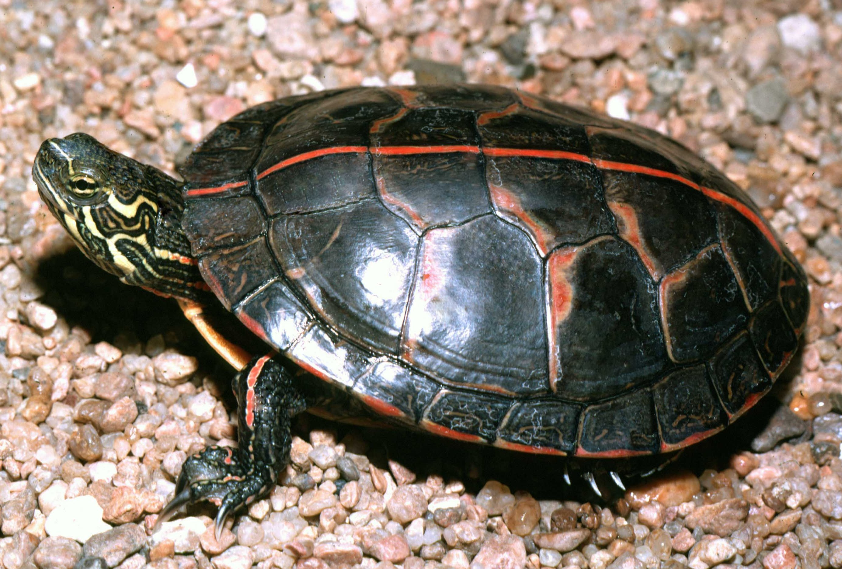 A Southern Painted Turtle Facing Left Top Side View Stripe Prominent On