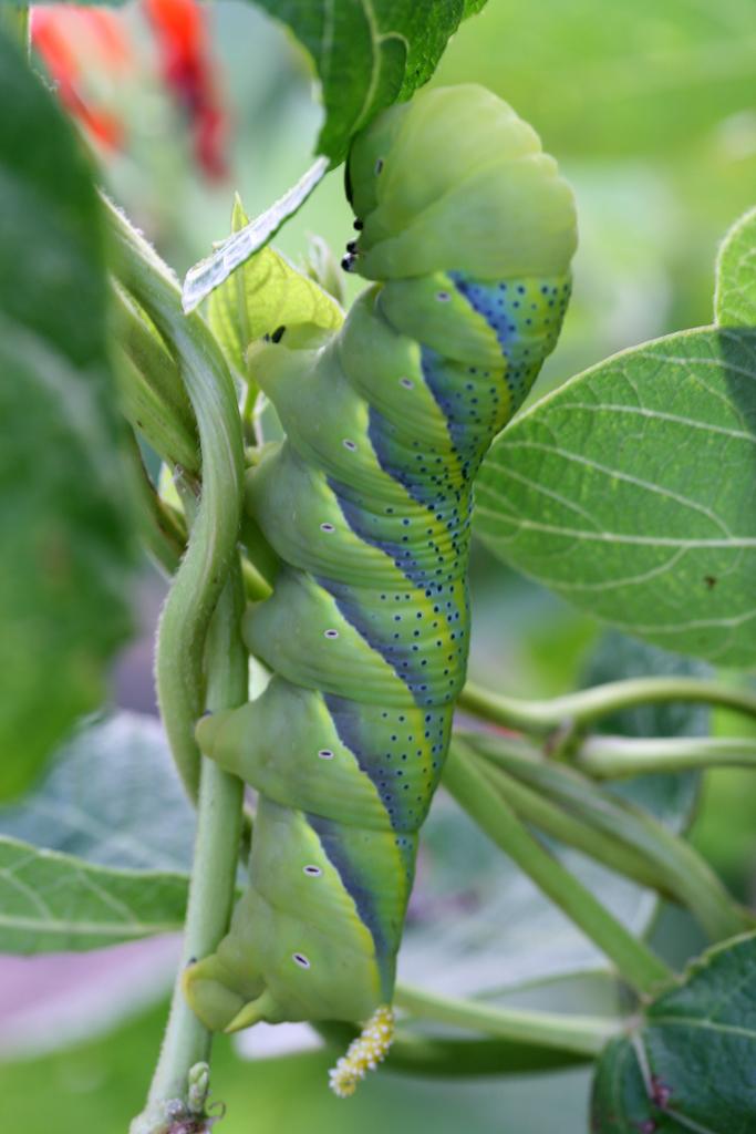 Pershosen toukka ruusupavulla, kuvaaja: Marilyn Peddle, lisenssi: CC Atribution 2.0 Generic