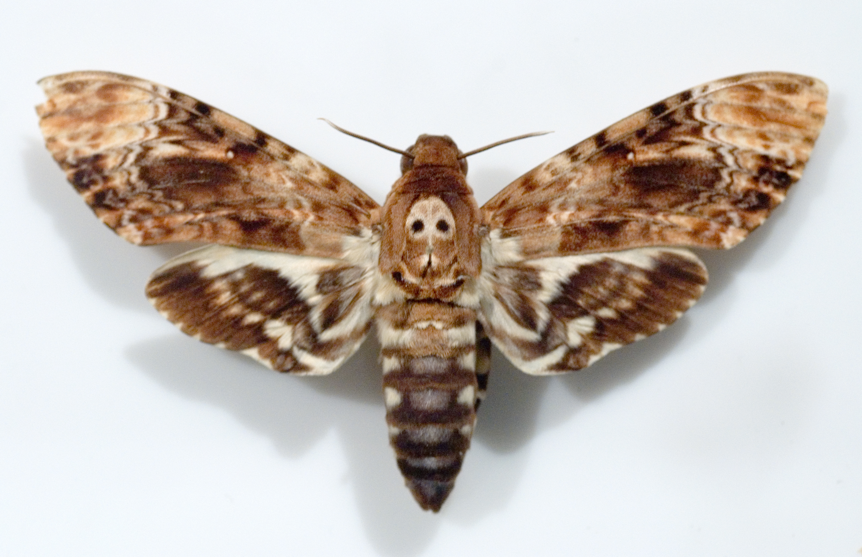 бабочка бражник мертвая голова фото