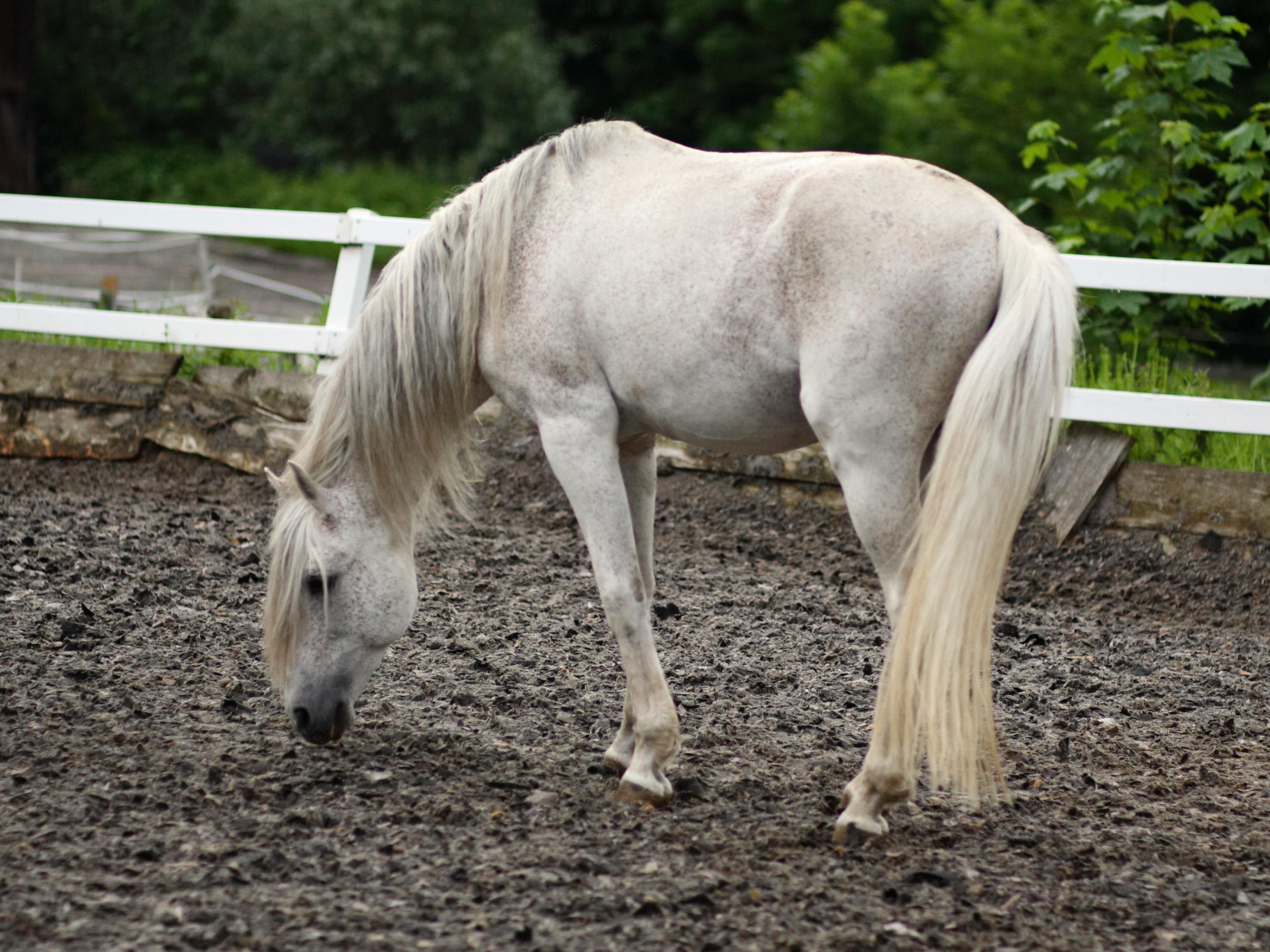 Kuvahaun tulos haulle andalusian horse