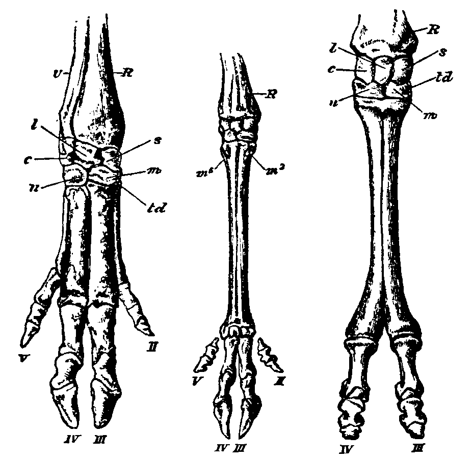 File:Artiodactyla feet.png - Wikimedia Commons