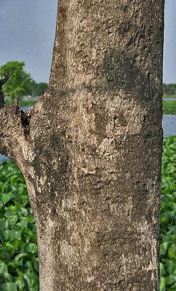 Tập tin:Bark (Tectona grandis) I IMG 6079.jpg