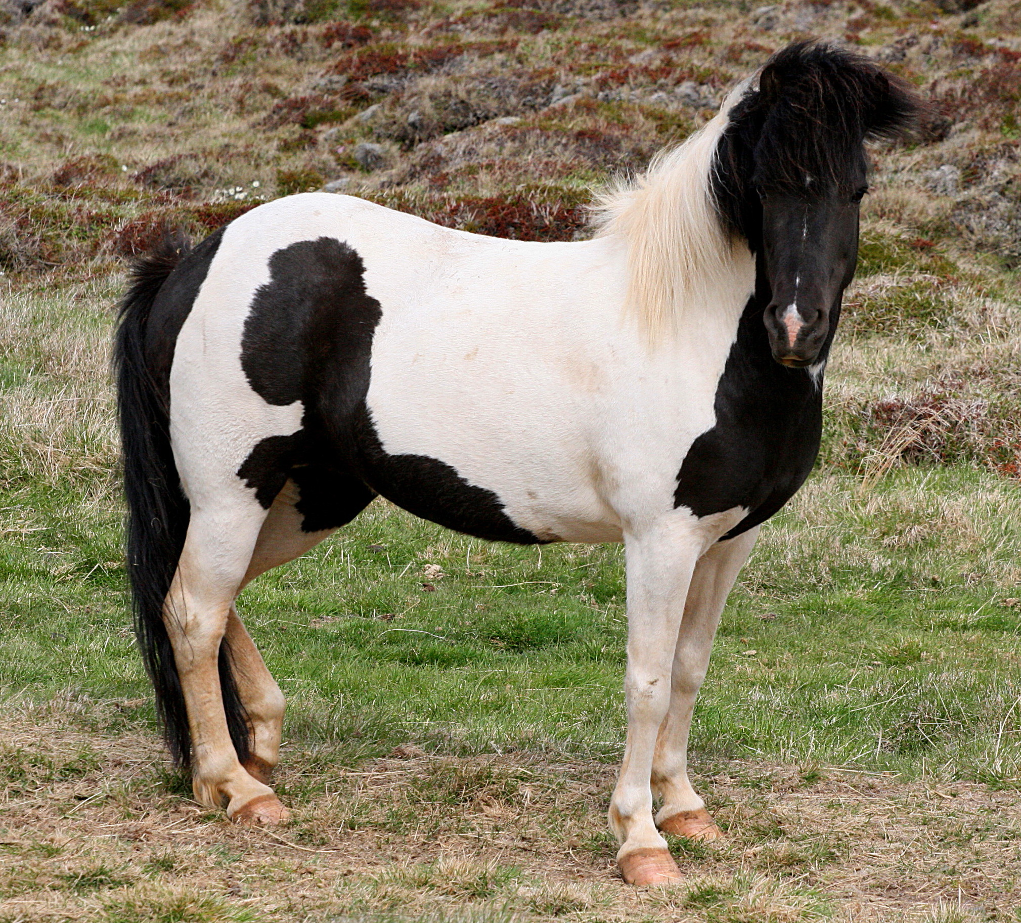 File:Beautiful black and white horse.jpg - Wikimedia Commons
