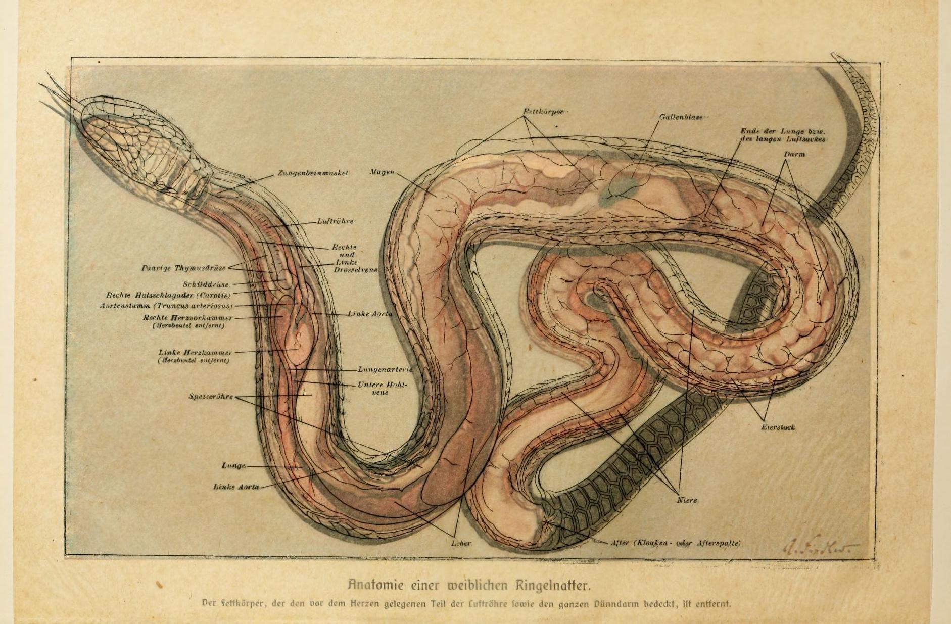 File:Brehms Tierleben (Plate- Anatomie...Ringelnatter) (6139670599 ...