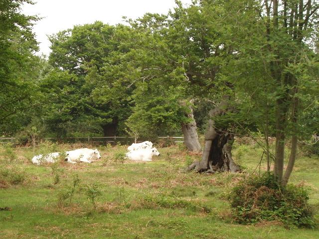 British White cattle for conservation grazing, Burnham Beeches - geograph.org.uk - 825519