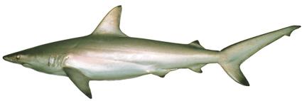 Carcharhinus tilstoni csiro-nfc.jpg
