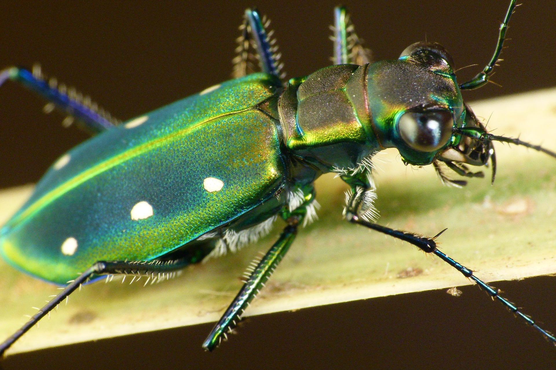 картинка жука скакуна